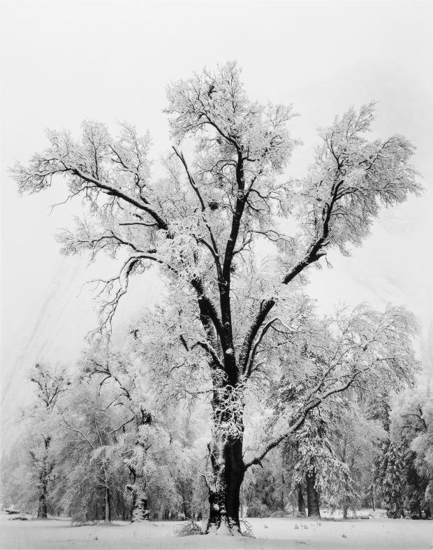 Oak Tree, Snowstorm, Yosemite Valley, California, 1948